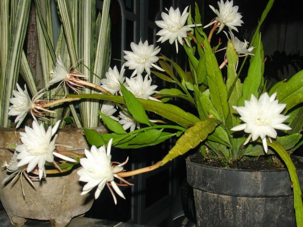 Bunga Wijaya Kusuma - AnekaNews.net