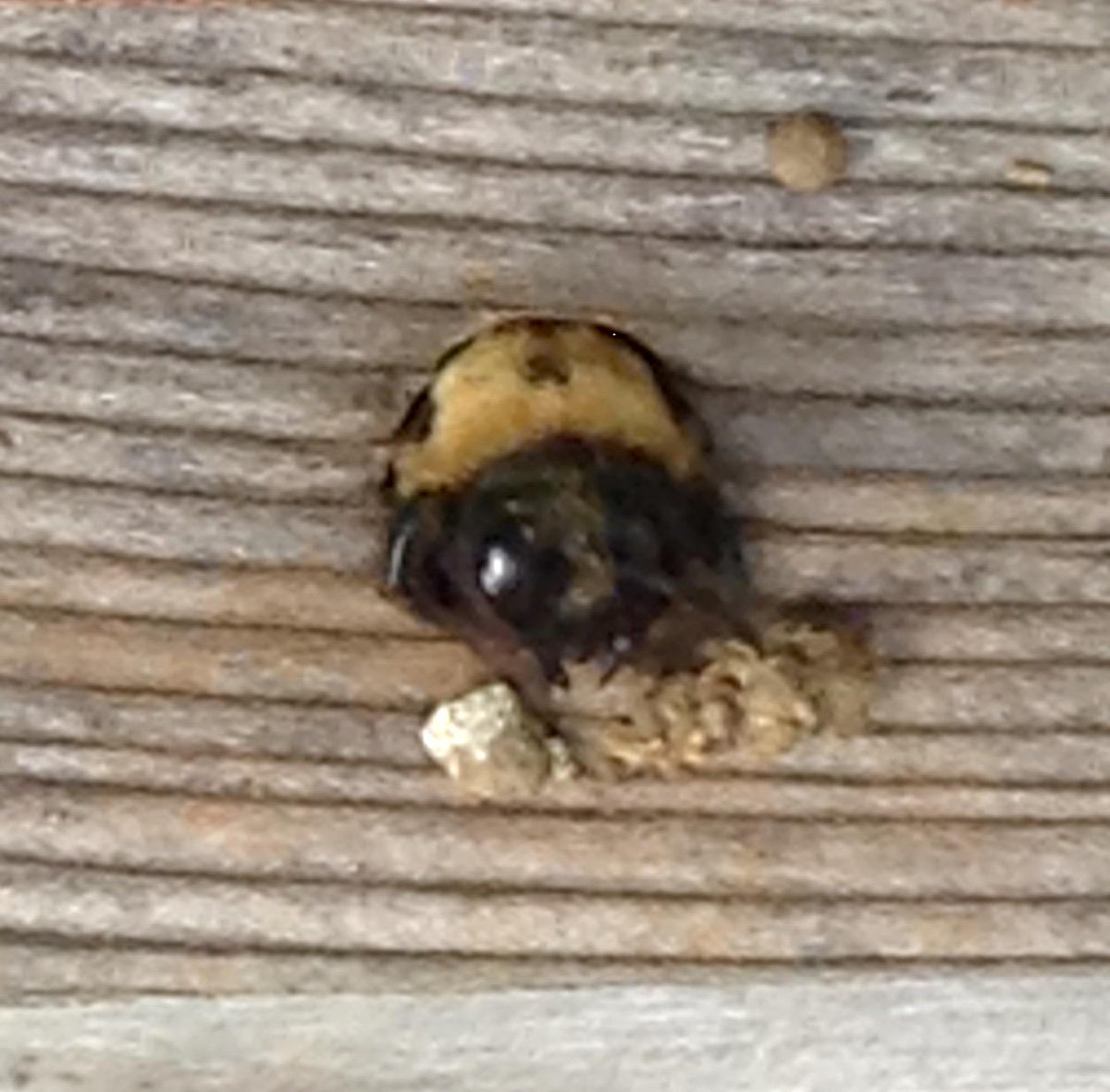 top of carpenter bee coming out from a hole in wood with several bits of detritus nearby