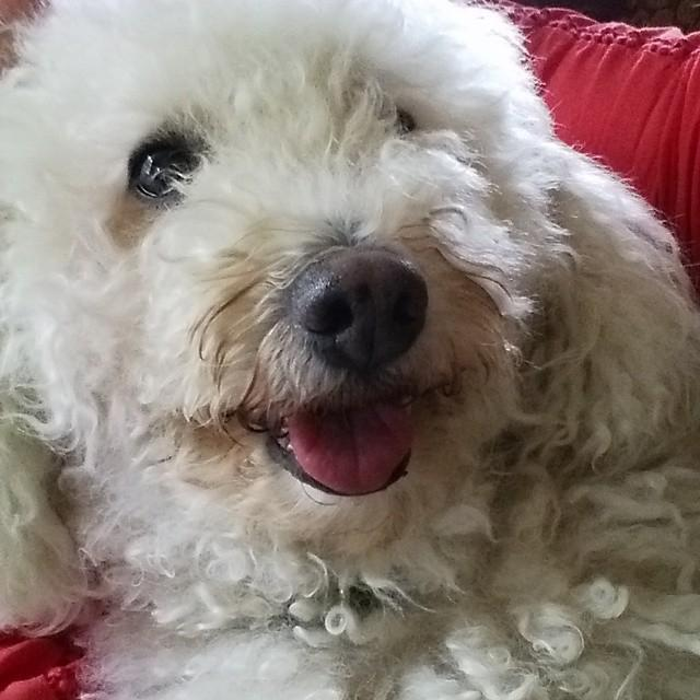Sometimes I get lucky and snap a picture, that to me, is just perfect! #BaileyBoy #dogsofinstagram #dogs #bichon #a… http://t.co/NeXX5wfxAL