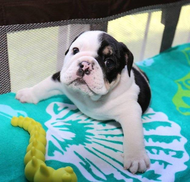 Bulldog Solutions A Hero Digital Company On Twitter From Bulldog To This Lil Guy Bonsai The Bulldog Only Has Two Of His Legs But All Of Our Love Http T Co Dcudca4g3v Http T Co Rh8d689of8