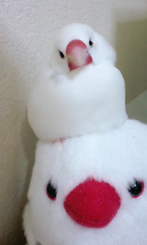なんじゃこの可愛さ。天使か #buncho #文鳥 pic.twitter.com/dl9bqe31cf