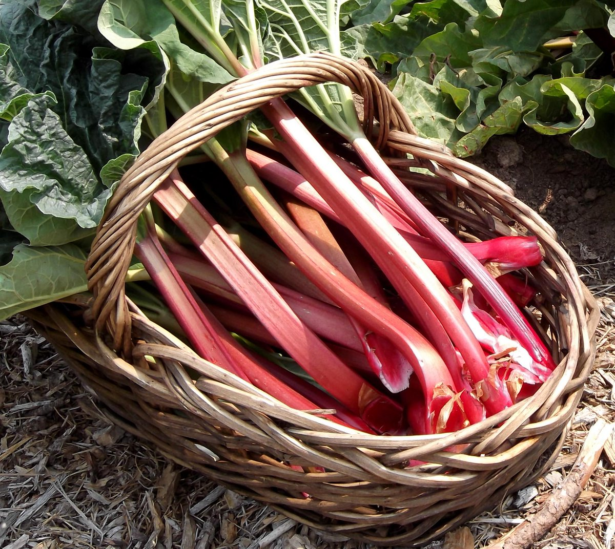 http:// buff.ly/1D4KOTA  &nbsp;   #5 things to do with #surplus #Rhubarb grown from your #Rhubarb #Forcer  http:// buff.ly/1JTnlwx  &nbsp;  <br>http://pic.twitter.com/ZBUwytC5UH