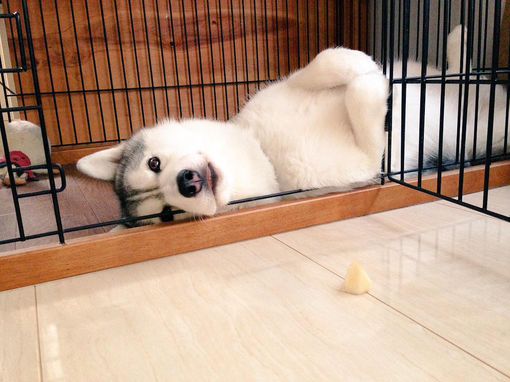 腹出して寝てます。今日はリンゴも寝たまま食べました。暑いし眠いんだな…(笑)夜ご飯はちゃんと起きて食べてもらうよ! pic.twitter.com/vSBaEUEWq3