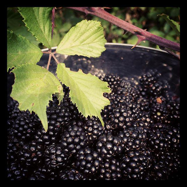 Blackberry harvest #siciliansummer http://t.co/knqBAAkOJs