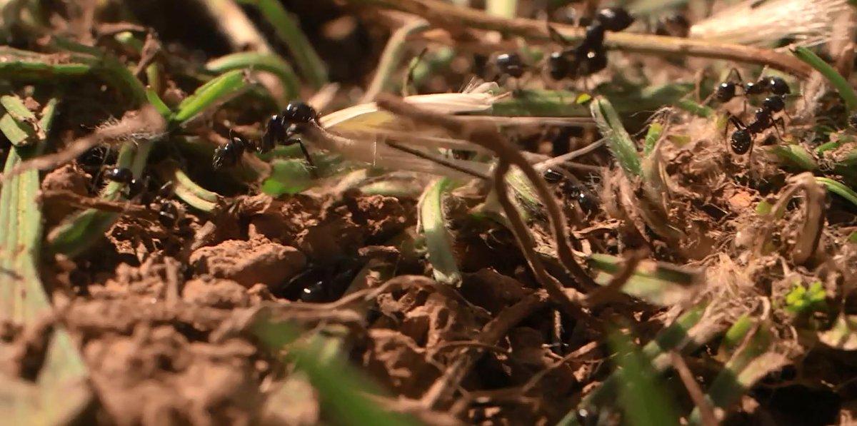[vidéo 8'] Des #fourmis contribuent à la restauration d'un site pollué. #ingéniérieécologique http://t.co/0lhgYoRLNX