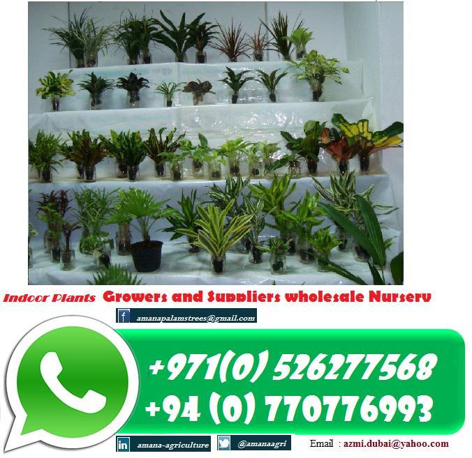Amanha Tree Nursery On Twitter Indoor Plants Nurseries Wholesale