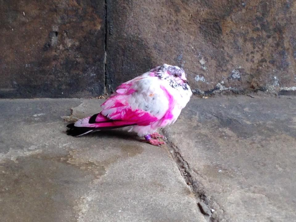 Mysterious pink pigeons are being spotted across Britain