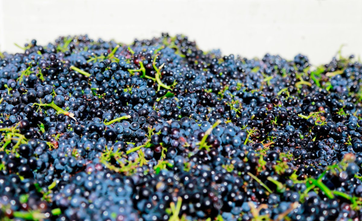 #NapaHarvest 2015 has started! First grapes have arrived at the winery! http://t.co/g5ZYXcaata