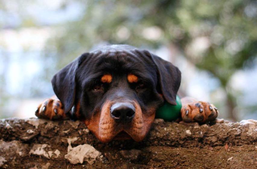 "Nena Muerta Por Rot Wailer: Publimetro On Twitter: ""Niña Muere Atacada Por Rottweiler"