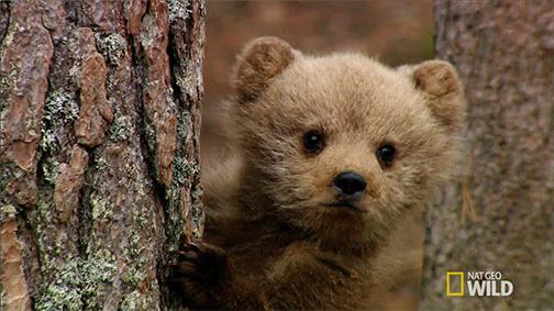 Baby brown bear - photo#8