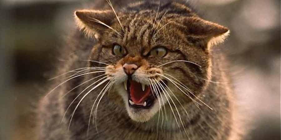2 milioni di gatti moriranno in Australia