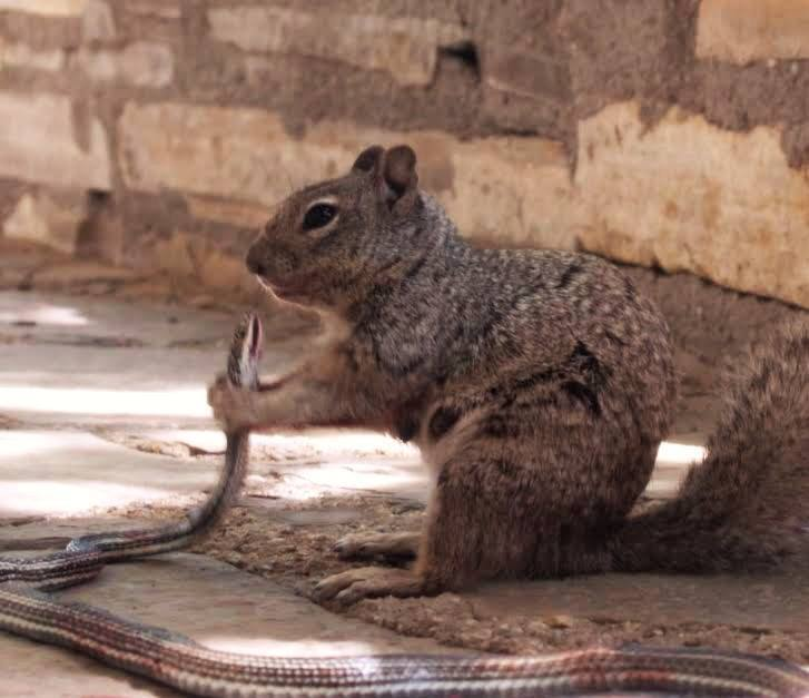 World's most badass squirrel takes on vicious snake in epic battle http://t.co/p6m6AHpJp4 http://t.co/00Ei0ZTLpD