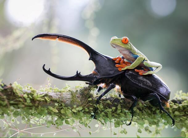 ヘラクレスオオカブトとカエル