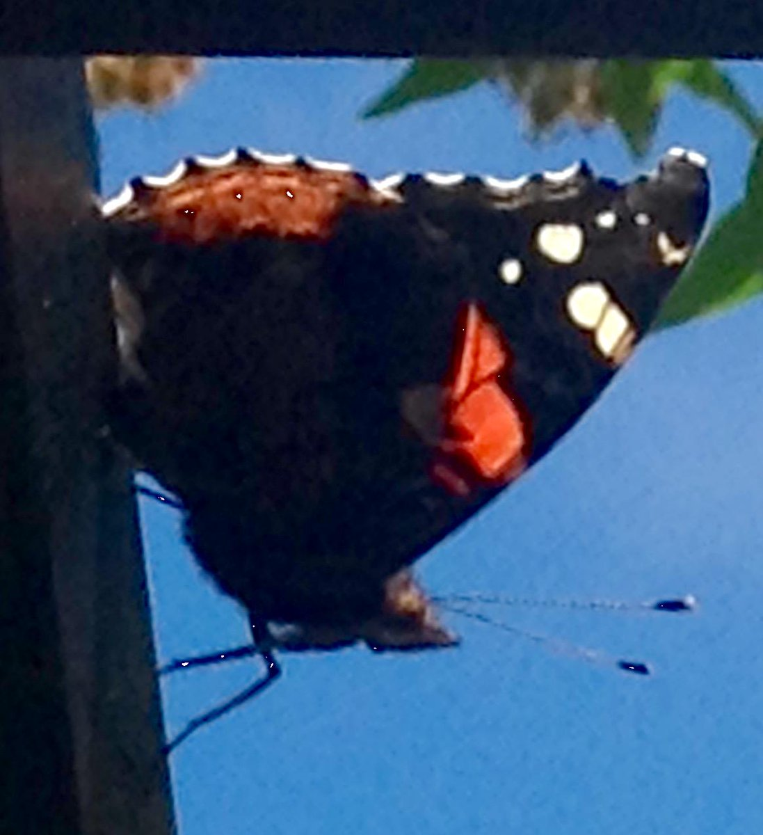 black, orange and white butterfly in foreground against blue sky