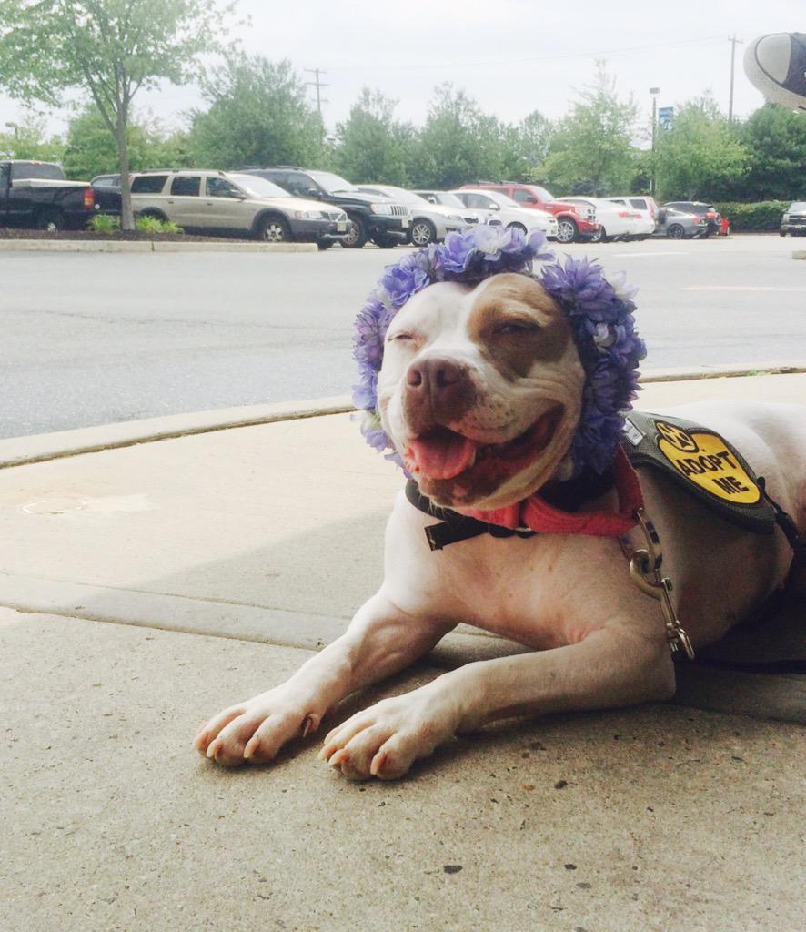 Patty the #Pitbull #pitbullflowerpower #adopt #nj #dog pittiesandpalsrescue@yahoo.com http://t.co/JObRbkh5de