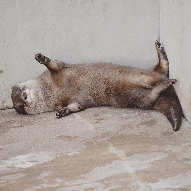 <やあ! #otter #カワウソ #市川市動植物園 http://t.co/WKpLpXggEl http://t.co/o57QtTIJkj