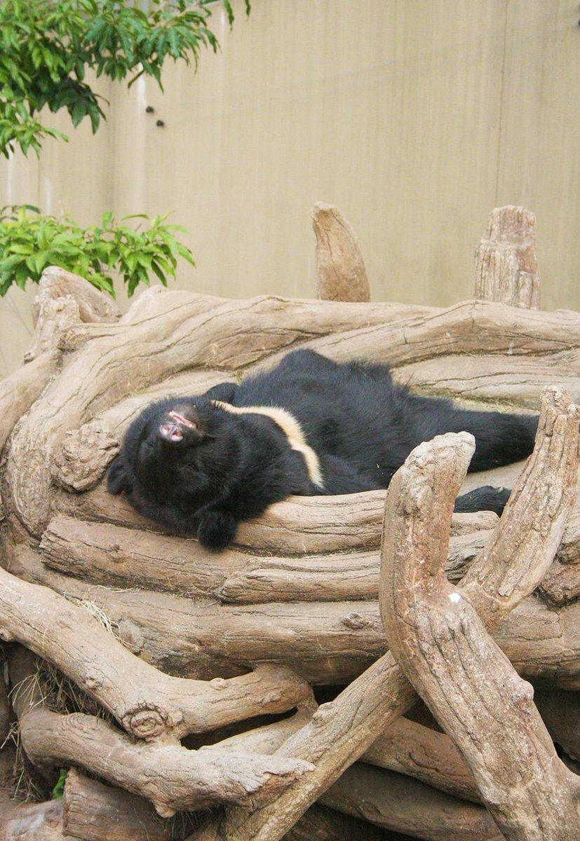 そして月といえばツキノワグマ!上野動物園の三日月ということで最近一部から熱い注目を集めていますが、上野五熊の中で一番寝相が美しいと言われているとかいないとか…要するにまあ、爆睡です。 pic.twitter.com/hQQC6ztiB4