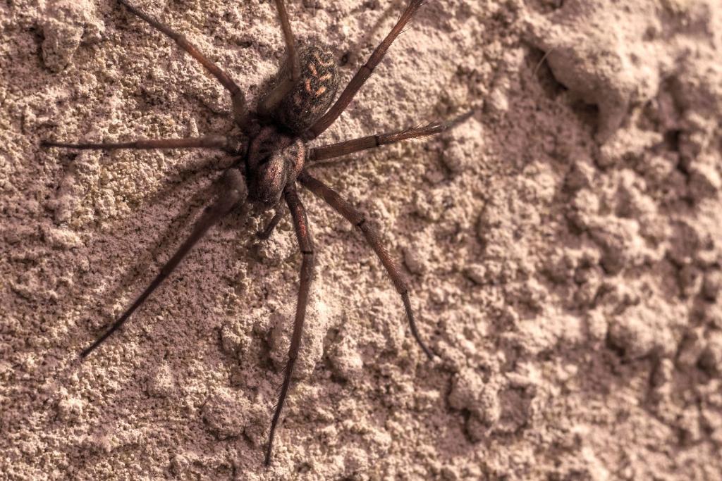 brown recluse spider bites - HD1500×1000