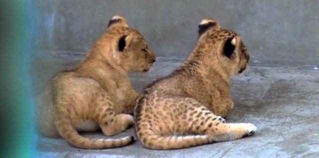 #お尻祭り2015年4月11日、多摩動物公園でライオン「イチゴ」と「ニイナ」誕生☞tokyo-zoo.net/topic/topics_d… pic.twitter.com/EM8goPdF7k