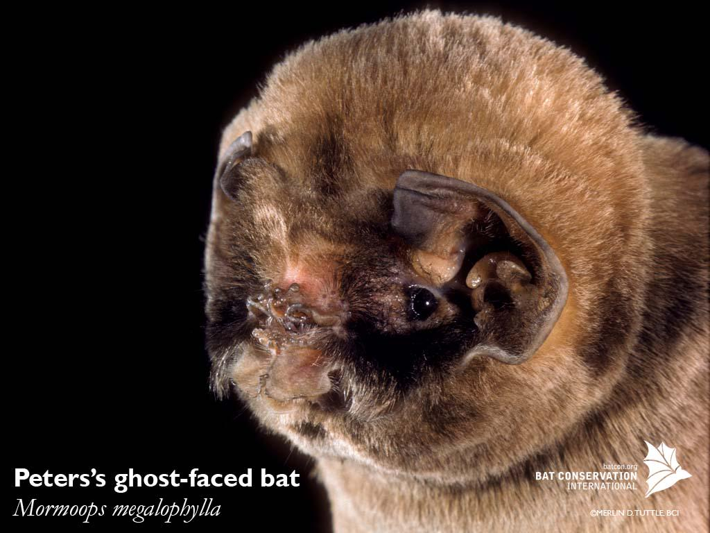 """Bat Conservation Int on Twitter: """"Meet Peters's ghost ..."""