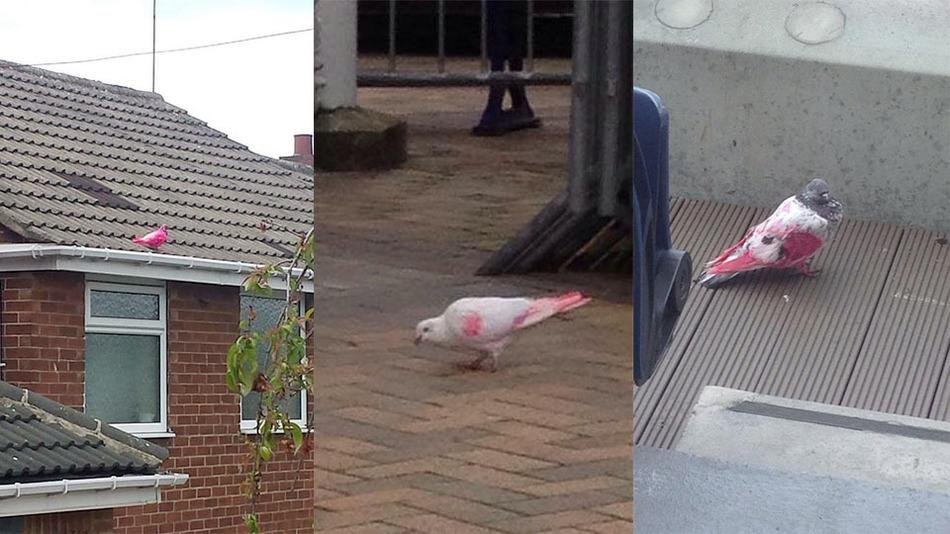 RT @mashable: Mysterious pink pigeons are being spotted across Britain http://t.co/95nFLuG0uP http://t.co/W8JyIsPOgJ