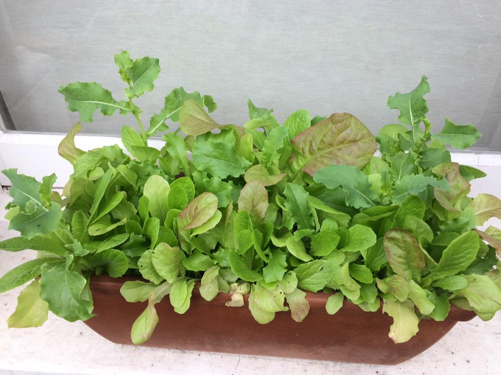Here's the lettuce i've been growing http://t.co/Bnc4BApHf1