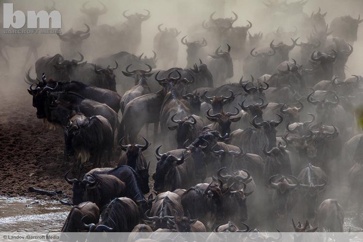 Wildebeests cross the Mara River in Kenya's Masai Mara National Park on July 26, 2015 ©Landov/Barcroft Media #POTD http://t.co/BSqEzCRW0L