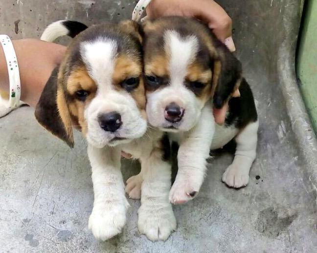 Looking for a home for these two female beagles 45 days old. No breeders. Call 9999064730 for adoption. Please RT http://t.co/FBeKnHgBOH