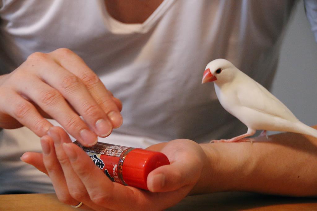 自分ではなく七味唐辛子がかわいがられていることに気付き駆け付ける文鳥 #buncho pic.twitter.com/unwplCECdf
