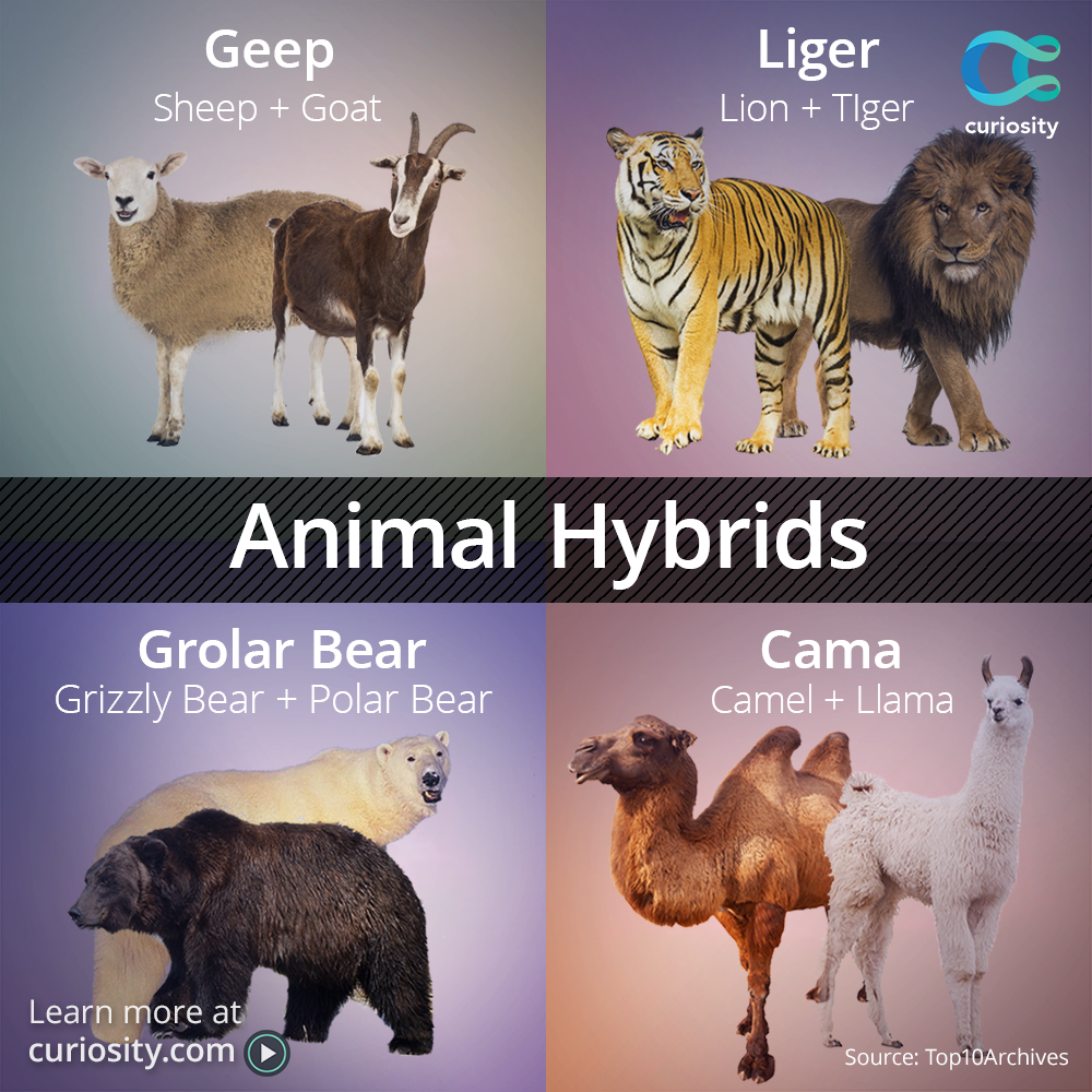 Napoleon Dynamite Was Onto Something Ligers Are Real Learn About 10 Hybrid Animals