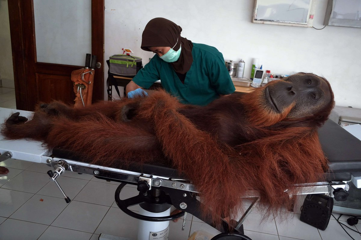 A drowsy orangutan shot by poachers has his wounds tended to on an operating table in Sumatra. (@zaibatsu) https://t.co/3zEJYDmHMQ #animals