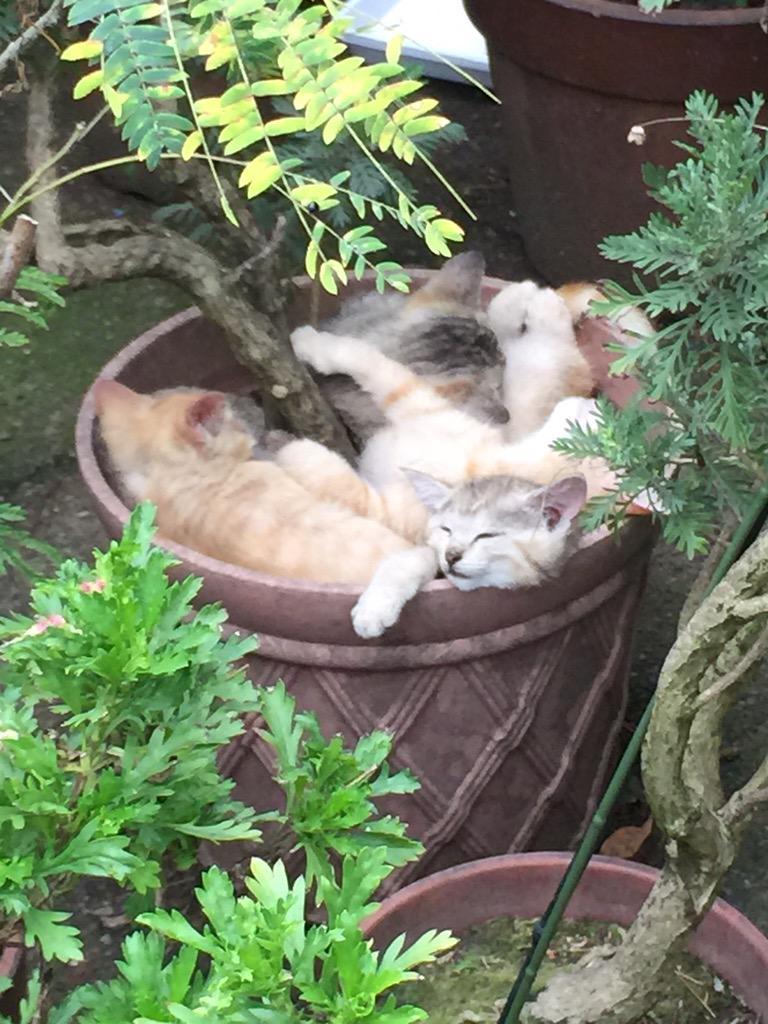 こないだ通りかかった民家の軒先の鉢植えが、子猫の寝床になっていました… pic.twitter.com/HWMaBTxEXy
