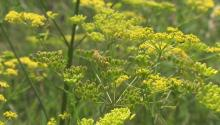 Looks pretty, but can give you nasty burns. Talking wild parsnip with @ottawahealth, next. http://t.co/VUWpCm8Kb0 http://t.co/NygcerXKhS