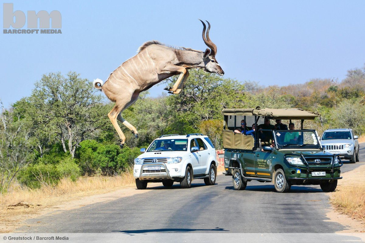 A kudu jumps over two metres in the air on a road in Kruger National Park, South Africa © Greatstock / Barcroft Media http://t.co/XgLIFmHQL1