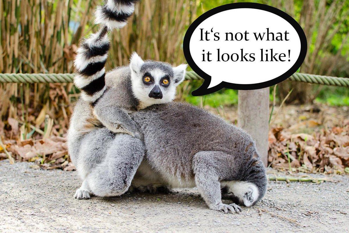 CKtCVriWcAAIkqc lemur love on twitter \