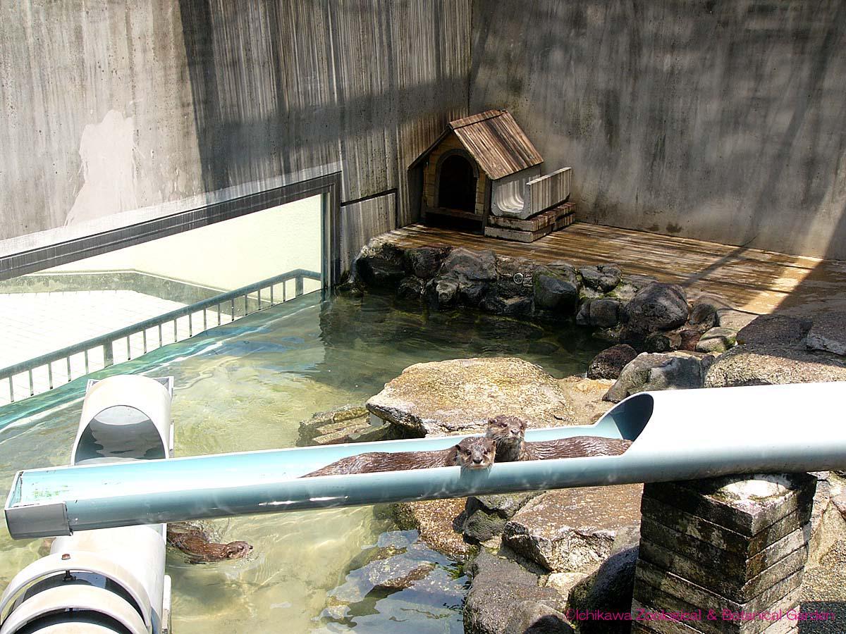 「流しカワウソ」詰まりました。#市川市動植物園 #カワウソ pic.twitter.com/uPZvZqzJZL