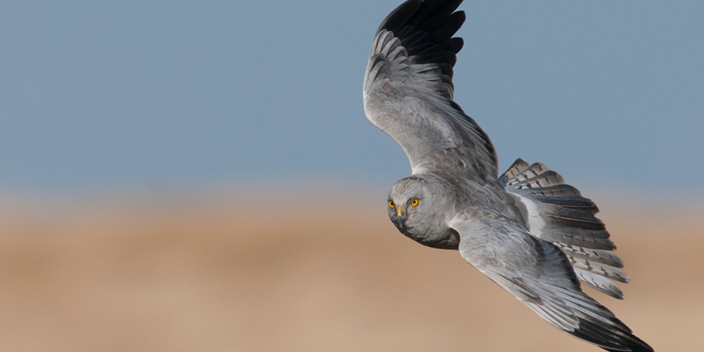 Save our hen harriers from extinction - ban driven grouse shooting for 'sport' https://t.co/hL1zx4gPDC #HenHarrierDay http://t.co/n689mZI77D