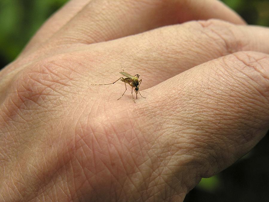 Alphabet (Google): zanzare mutanti contro Malaria e Dengue