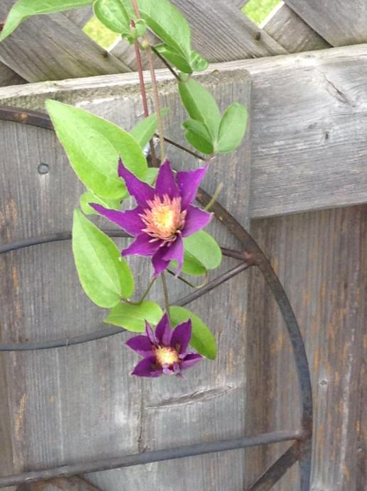 two purple clematis flowers against a fence