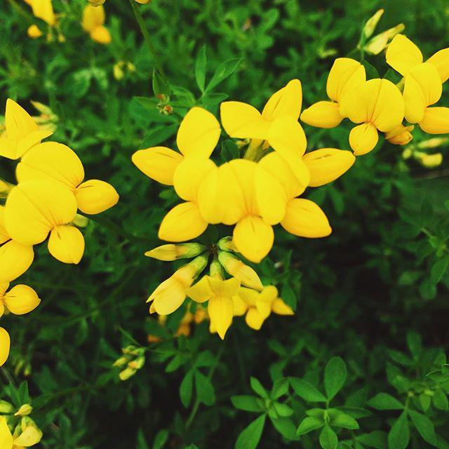 Yellow flowers found on a recent walk #VSCOcam #nature #outdoors #beautiful #flowers #summer #pretty #beauty http://t.co/Bv3QstPcQU