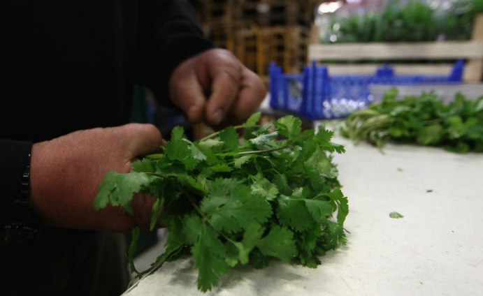 Shitty deal – Cilantro with Mexican feces sickens nearly 400