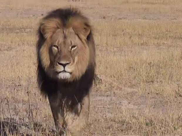#CecilTheLion Run Free Bro...Sorry there are heartless people in this world who believe killing animals is a sport http://t.co/NfnlynuRzK