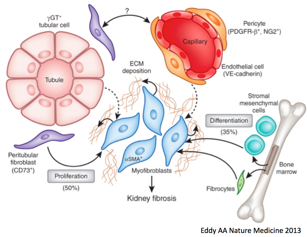 BG: Where to myofibroblasts come from? http://t.co/XIwwBlfjWQ #NephJC http://t.co/3DwuL0zAR7