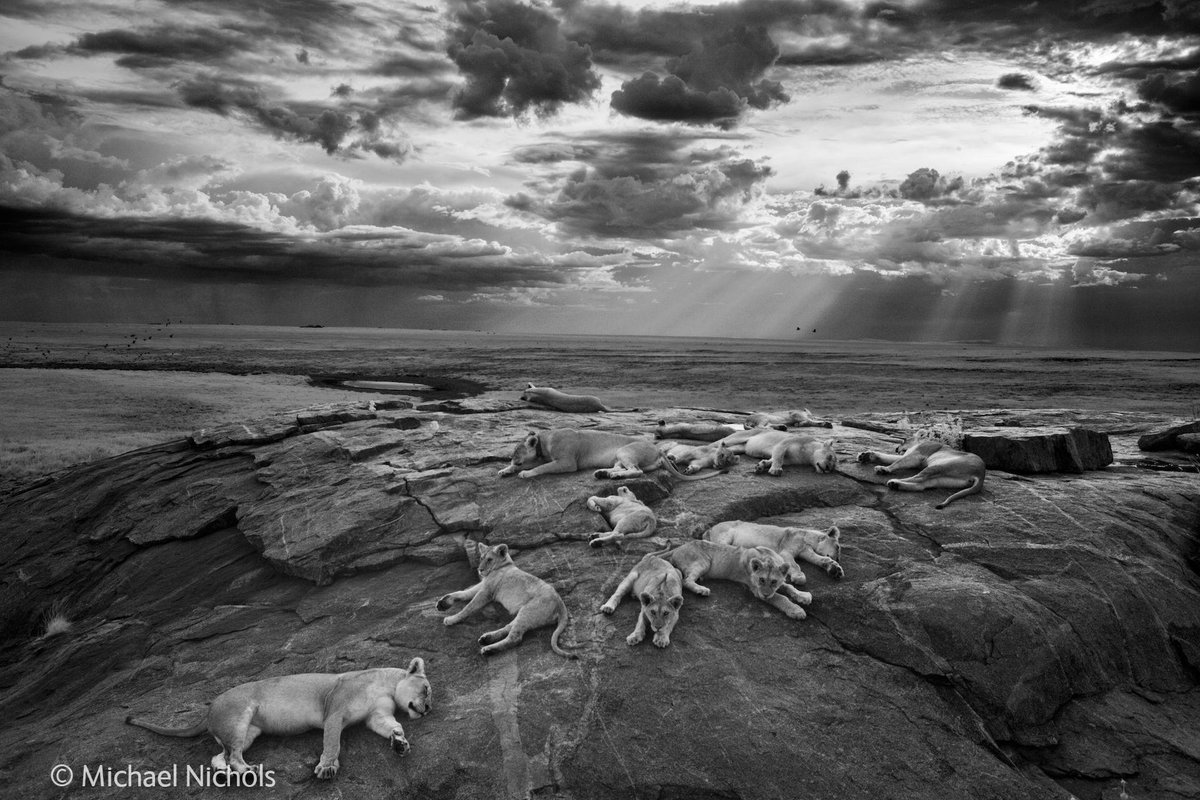 In honour of #CeciltheLion, a pride of lions basking in the sun, wild and free. Image by Michael Nichols. http://t.co/hIQuCBelCQ
