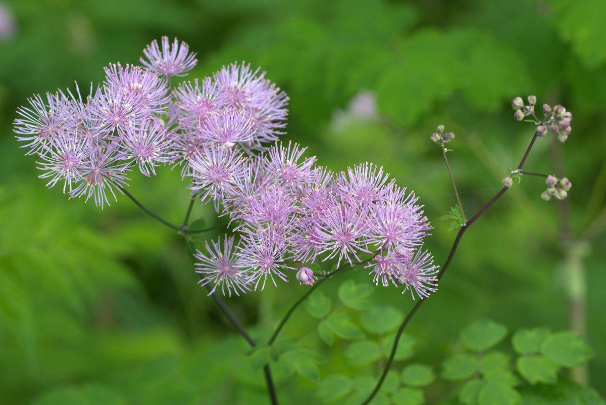 #Lehtoängelmä'n (#Thalictrum aquilegiifolium) kukinta on jo sammunut, mutta kuvassa vielä muisto siitä. #lähiluonto http://t.co/kDCfLThaKP