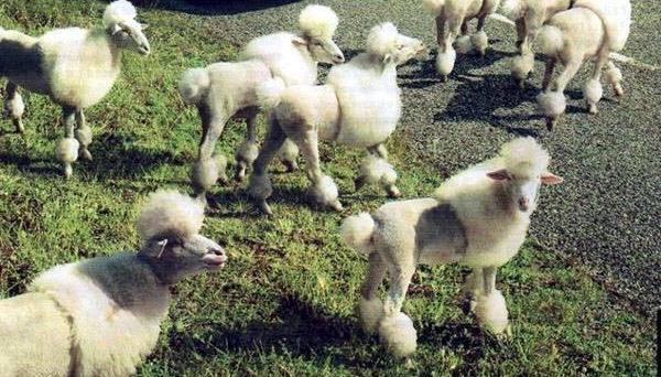 My cuz used to own a sheep farm. Don't know if she ever did this to her flock, but hope so. http://t.co/gTLn6TIgKV