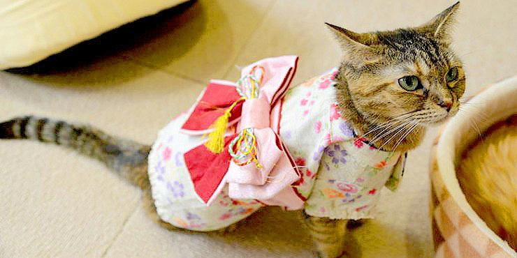 Cats Wearing Kimonos Is Trending In Japan And It Makes For Some Adorable-Looking Kittys http://t.co/43QwbszYdV http://t.co/jSIpGOFz0k