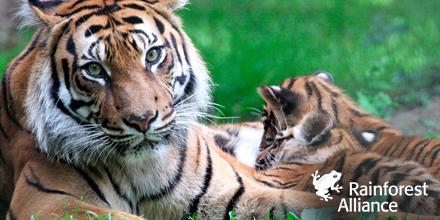 pus que 400 tigres de Sumatra ! CLIWwQvWUAAIA8q