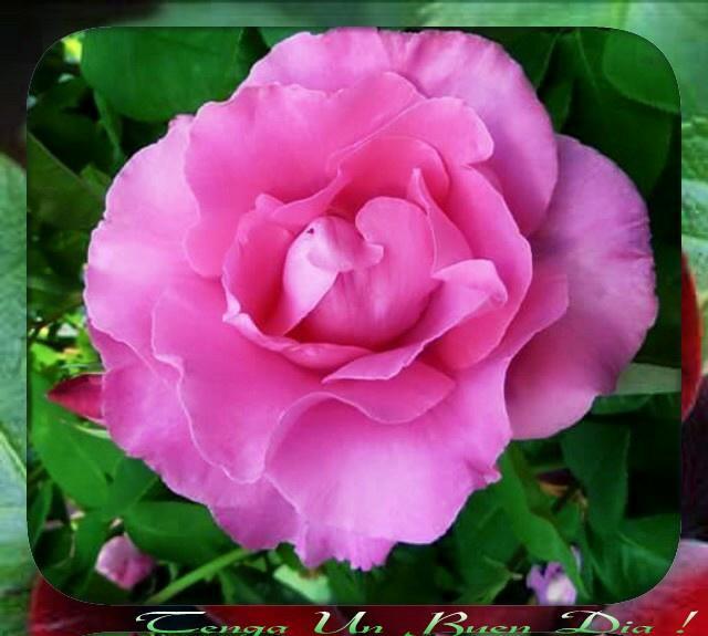 الورد ...... CLMI2VlWsAAAPaE