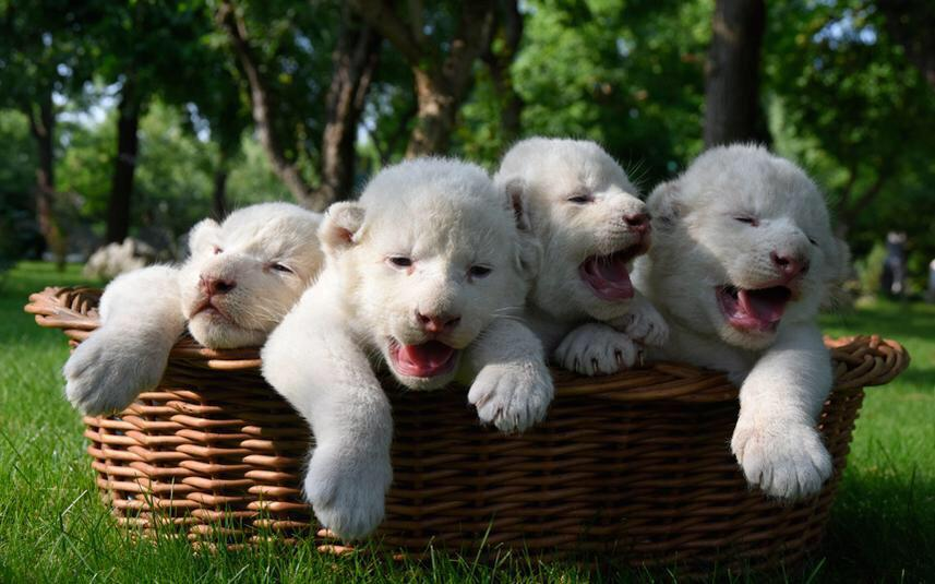 RT @MeredithFrost: Four white lion cubs unveiled at safari park in Crimea, and now you're having a good day. (Alexander Polegenko/AP) http:…